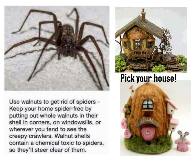 Walnuts in the house will keep spiders away- What about a walnut HOUSE?