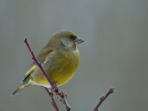 Norske vinterfugler - Dyr - Naturfakta
