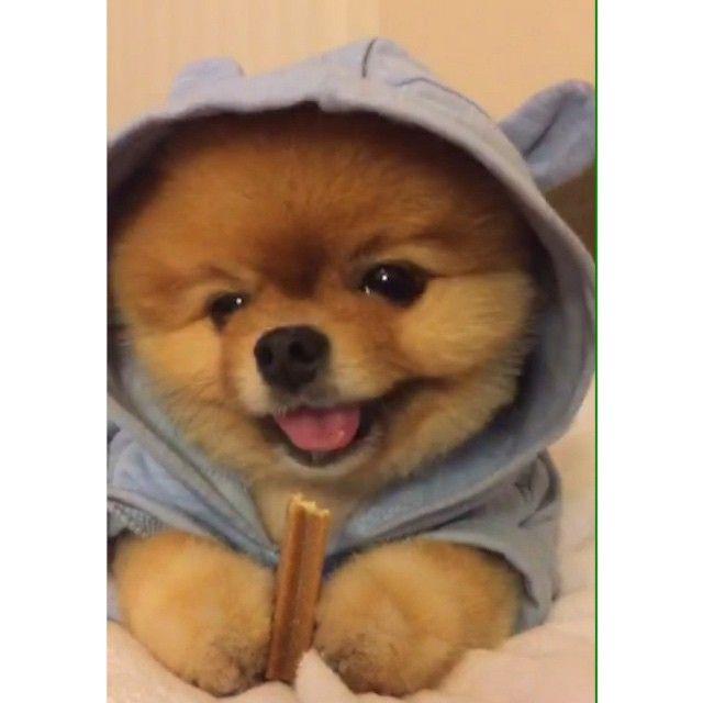 Best Jiff Pom Images On Pinterest Pomeranians Baby Animals - Jiff the pomeranian is easily the best dressed model on instagram