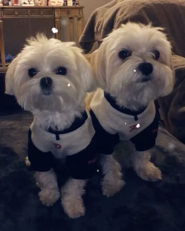 Pretending Like We Live In The Cold Puppybrudders Bradnchan Lajolla Maltese Model Malteseofinstagram Maltesepuppy Dogs Maltese Puppy Dogs Maltese Dogs