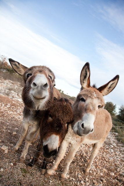 Donkeys near Aix en Provence, Provence, France @Sarah Chintomby Bach these donkeys look happy!