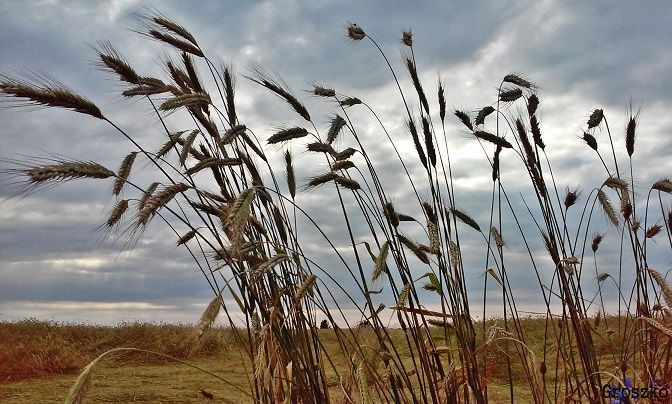 """"""" Pójdź, pójdź, poeto! Pójdziemy na pole, Jak skowronkowi, skrzydła ci rozwinę, Jak rybkę, puszczę na wodną głębinę, Jak bujnym wiatrom, dam taką ci wolę!  """" (..)   Maria Konopnicka"""