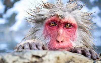 Scarica sfondi macaca fuscata, macachi giapponesi, bagnato scimmia, isola di yakushima