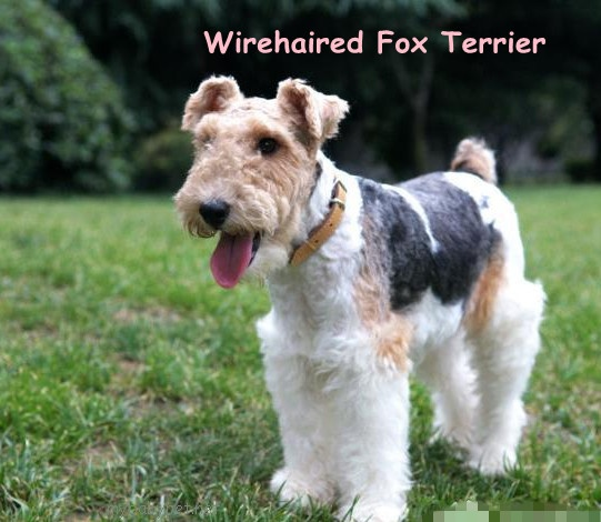 german wirehaired terrier wirehaired fox terrier beautiful dogs pinterest 4128