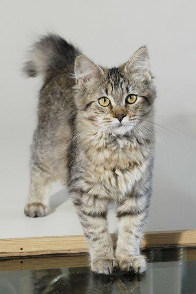 Pixie Bob Kitten..I want this guy!