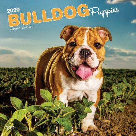 Bulldogs 2020 Calendar Bulldog Puppies Grow Up But They Don T