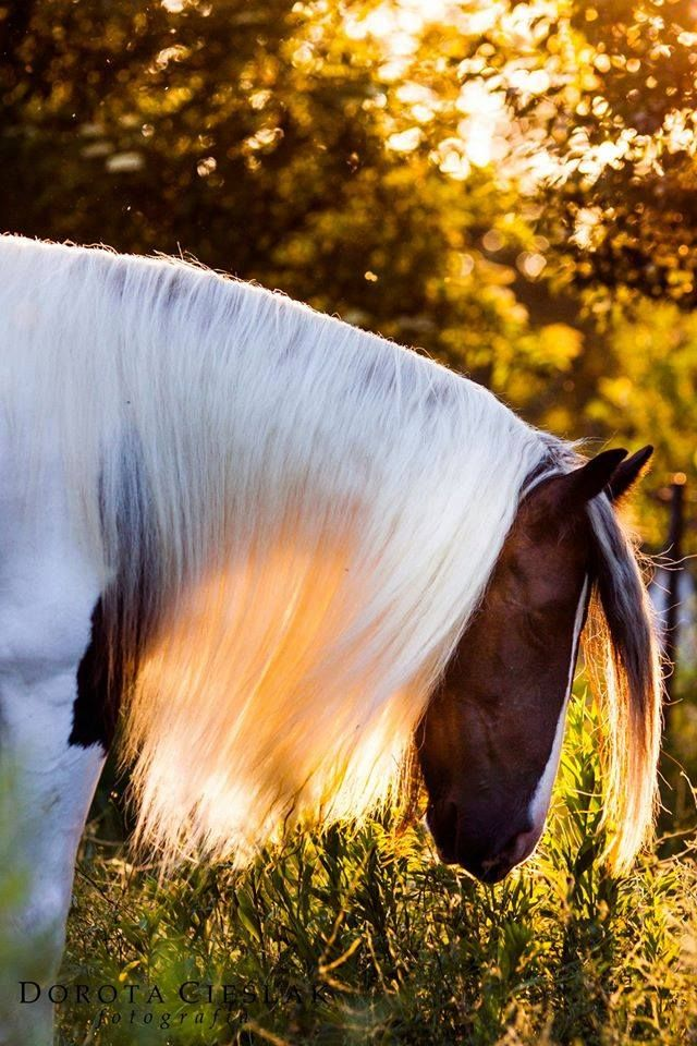 Beautiful paint colored horse whit his head bowed down. Long white pretty mane has the sunset shining through it with a beautiful glow. Light dancing off the surrounding grass and leaves of trees. Stunning image. Horse photography. #beautifulhorse