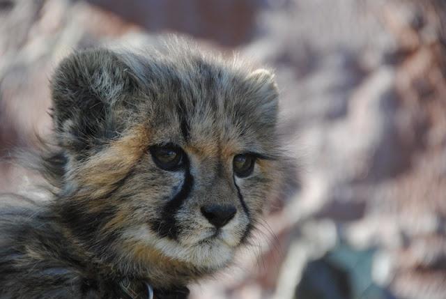 Cheetah, Namibia, Africa