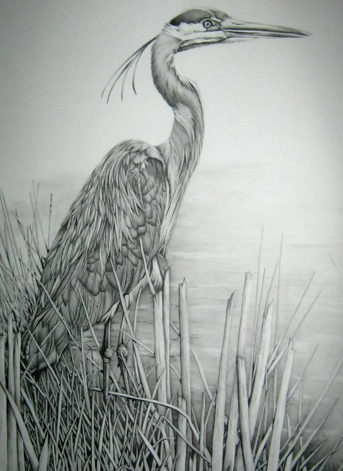 blue heron drawing - Google Search