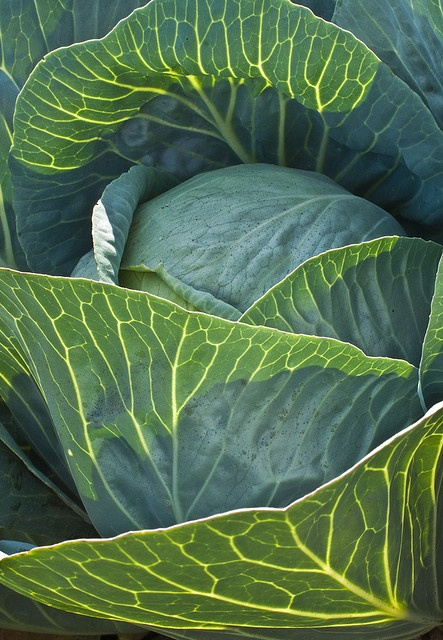 Glowing cabbage.