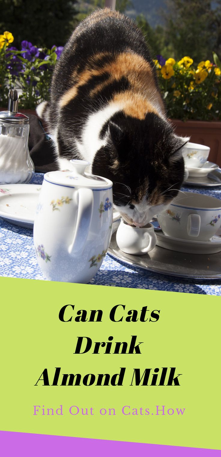 Can Cats Drink Almond Milk Cats are known for their love
