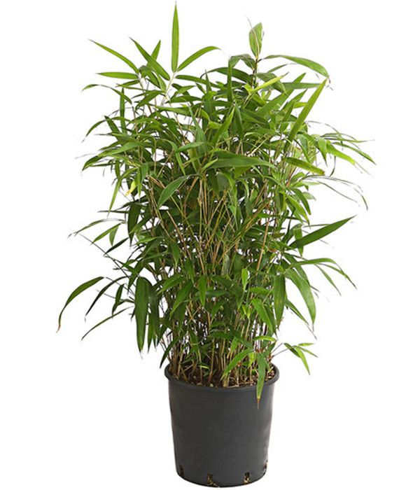 Pin Auf Bambus Pflanzen
