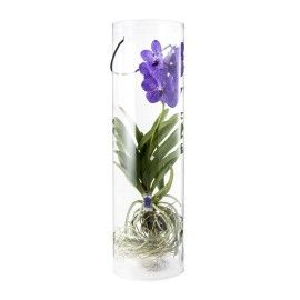 Vanda Orchid in Tube