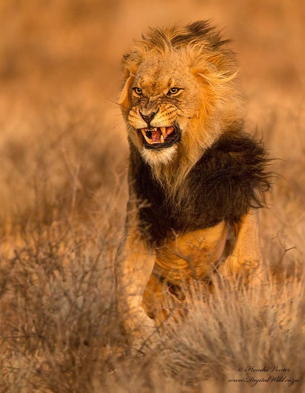 Kalahari Lion!! A male Lion flinches away from the swipe of a lioness after mating with her. Photographed in Kgalagadi Transfrontier Park, S...