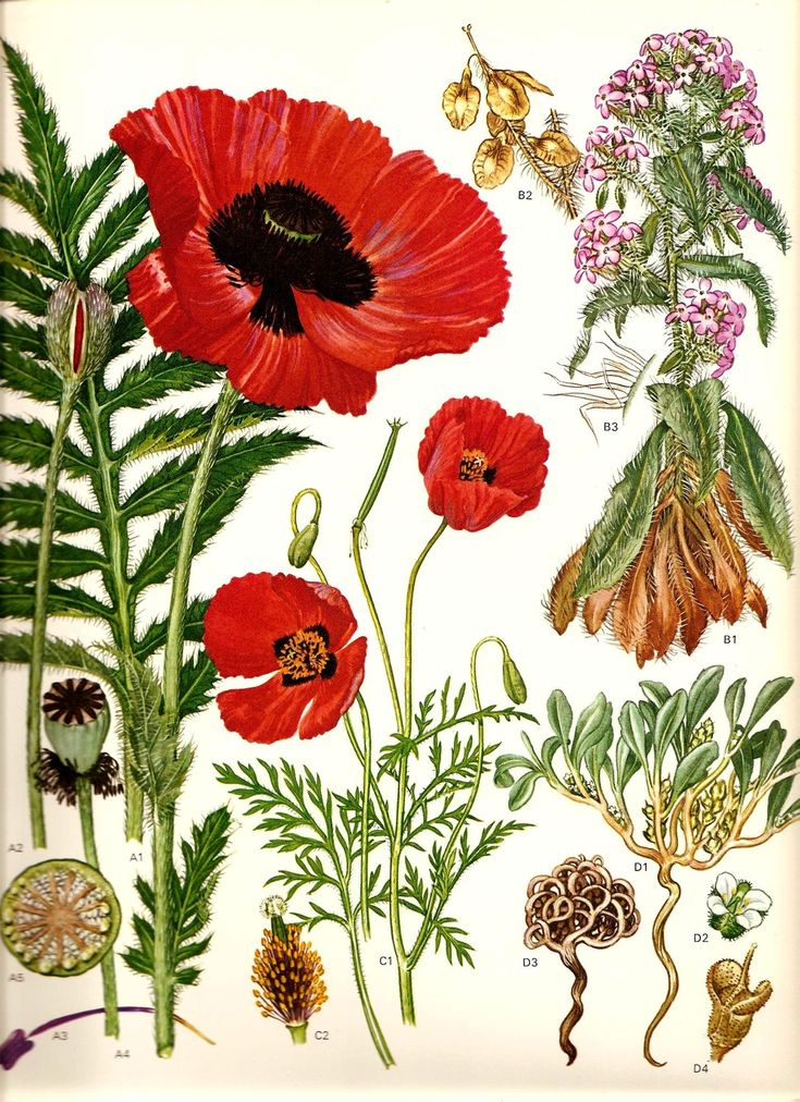 Vintage 1970 Red Poppy Color Art Print Wild Flowers Original Book Plate 45 Beautiful Oriental