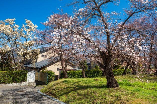 Spring Cherry Blossom Or Sakura Tree Flower At Park Against Blue Sky Near Japanese Village House In Matsumoto Japan Sakura Tree Cherry Blossom Blossom