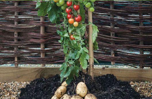 Pomme-de-terre et tomates sur le même pied
