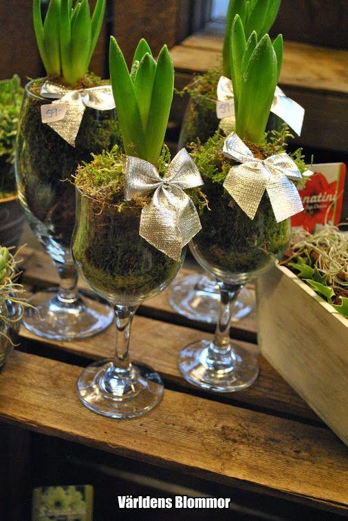 Hyacint i glas Världens Blommor