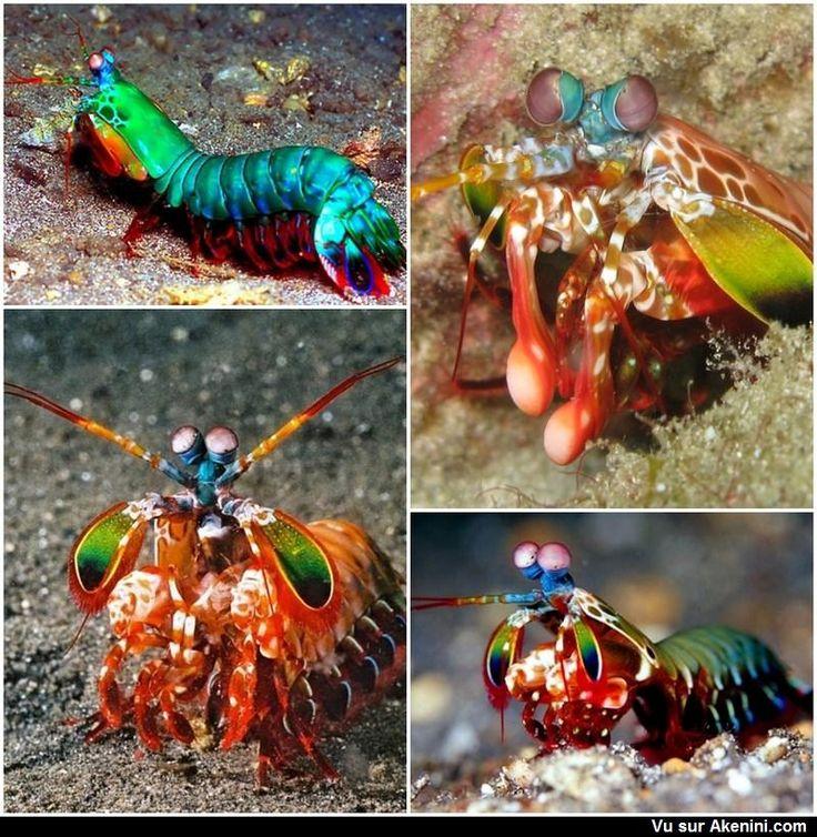 squilles (crevette-mante) sont des crustacés membres de l'ordre des Stomatopoda.