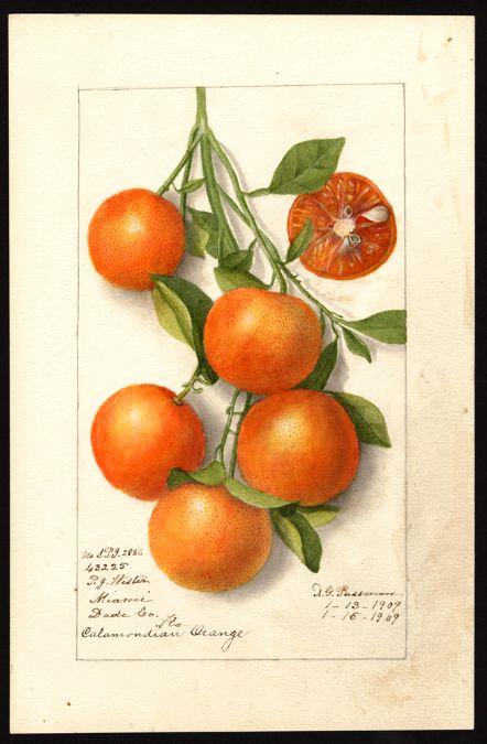 Artist:     Passmore, Deborah Griscom, 1840-1911  Scientific name:     Citrus , Citrofortunella  Common name:     citrus fruits  Variety:     Calamondian  Geographic origin:     Miami, Dade County, Florida, United States  Physical description:     1 art original : col. ; 17 x 25 cm.  NAL note:     B.P.I. is Bureau of Plant Industry  Specimen:     43225  Year:     1919  Notes on original:     Citrus x Citrofortunella Mitis; No. B.P.I. 2886  Date created:     1919-01-15