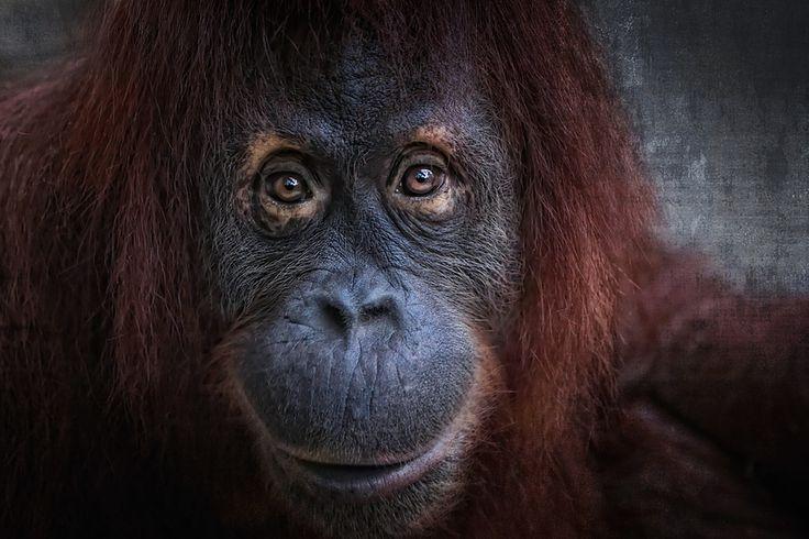 "Orangutan King ""the nice"" b..."