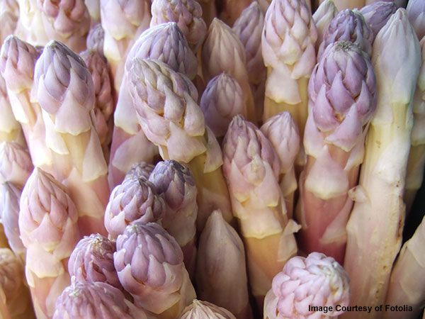 An old traditional heirloom asparagus seed, this gourmet variety is highly esteemed in Europe for its delicious stems