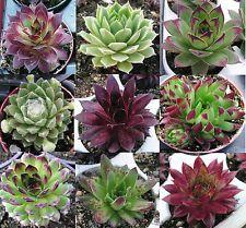 Hauswurz Pflanzen Sempervivum Dachwurz Sedum Dickblatt Bodendecker Steingarten