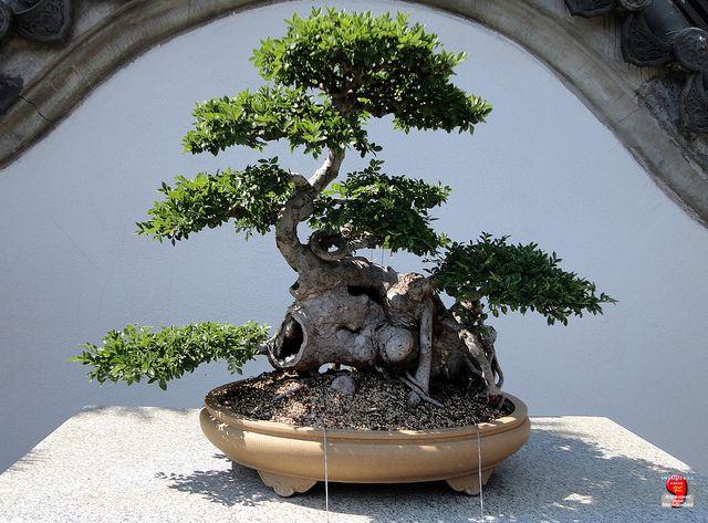 JP: Chinese Elm   Ulmus Parvifolia   Ulmaceae