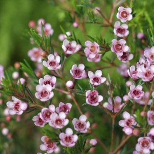 Chamelaucium x Verticordia 'Eric John'. Another plant we brought back from CA to trial, this long blooming drought tolerant perennial has a quiet charm.