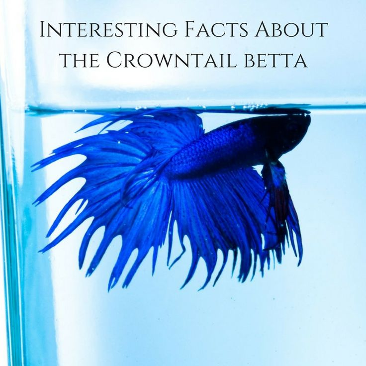 Interesting Facts About The Crowntail Betta! Click for details - #betta #fish #aquarium #crowntail