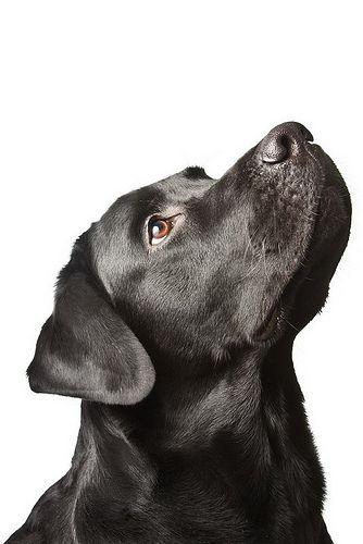 Labrador Negro!