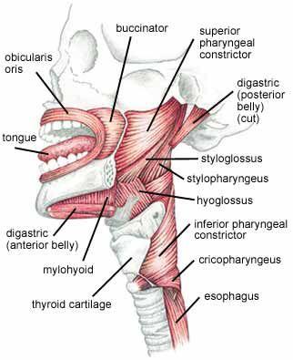 q81spch_muscles.jpg (322×395)