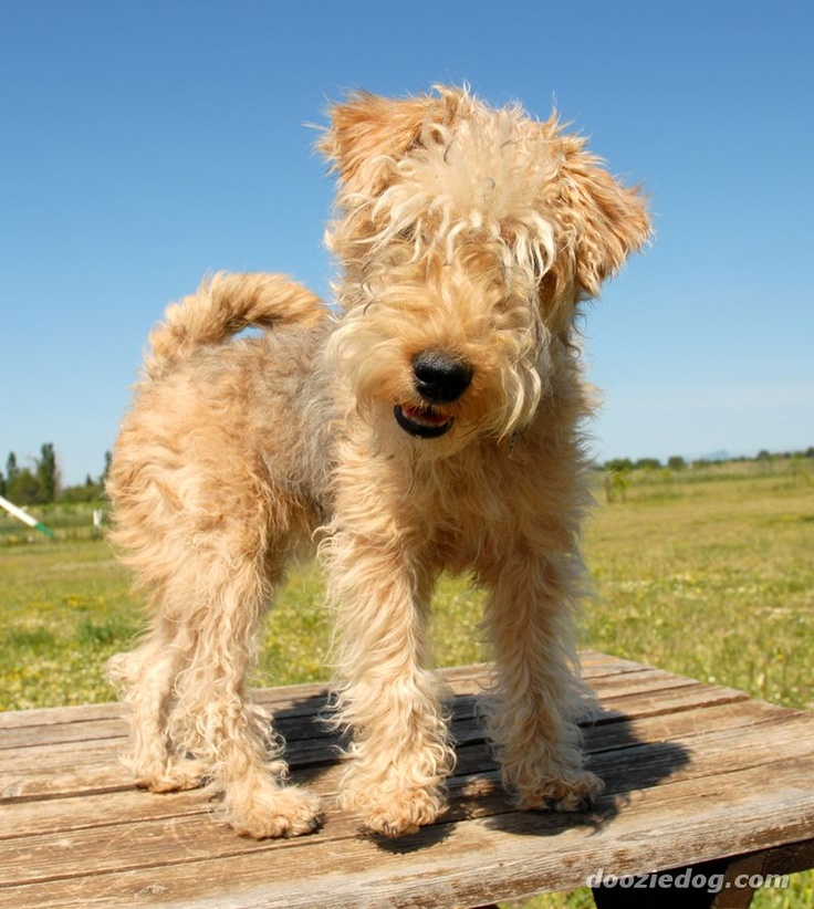 Cute baby lakeland terrier. i need a dog