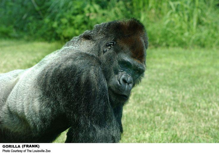 Louisville Zoo, Kentucky: Gorillas,  Gorilla Gorilla, Gorilla S