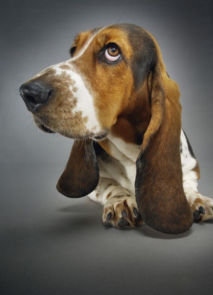 201 best colombo c moi le chien images on pinterest bassetjagdhund hund katze und hunde. Black Bedroom Furniture Sets. Home Design Ideas