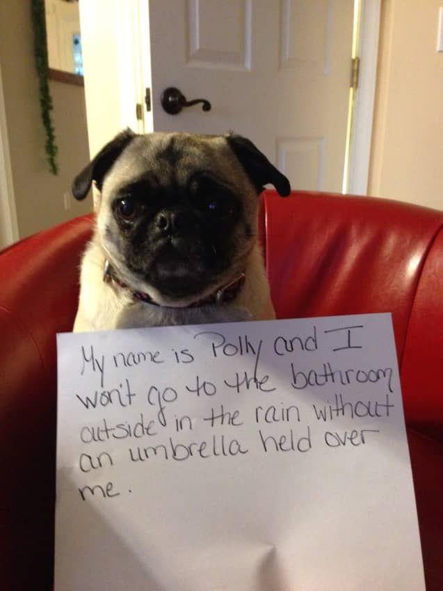 Kein Tanzen Im Regen Hundeschaden Dog Shaming Funny Pugs Funny Dog Shaming