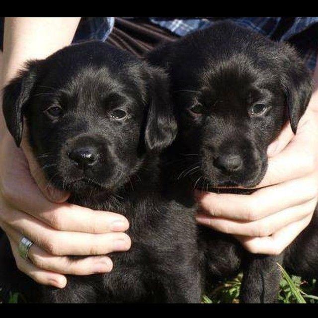 Black Labrador Puppies In Nsw Australia