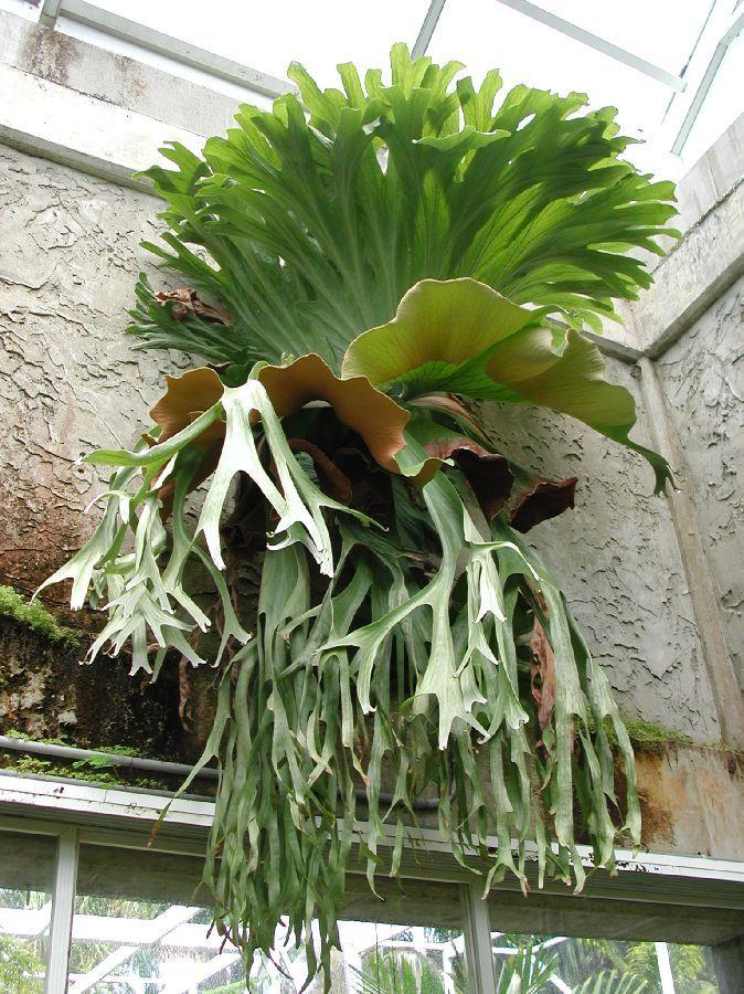 Platycerium grande (Polypodiaceae)