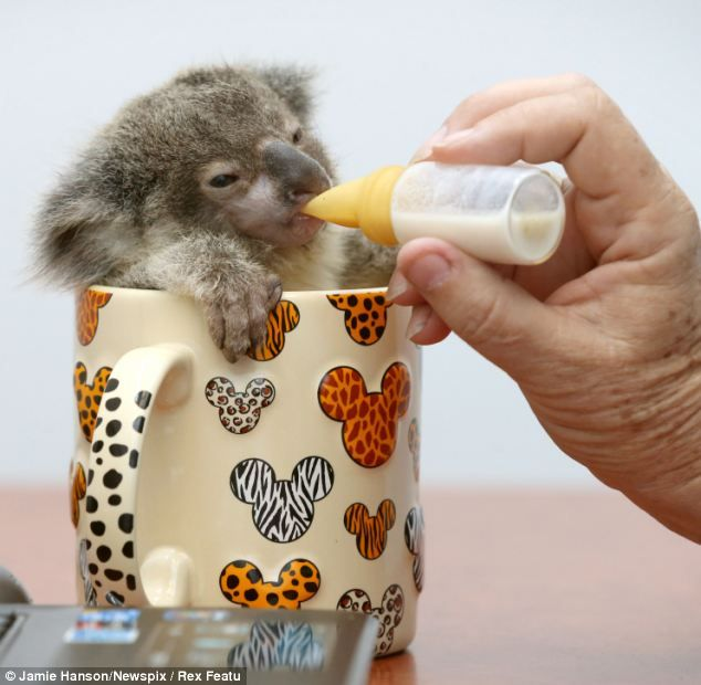 Koala in a tea cup: Raymond, an adorable joey was found abandoned beside a road in Brisbane, Australia last month - This is so cute I had to pin it.
