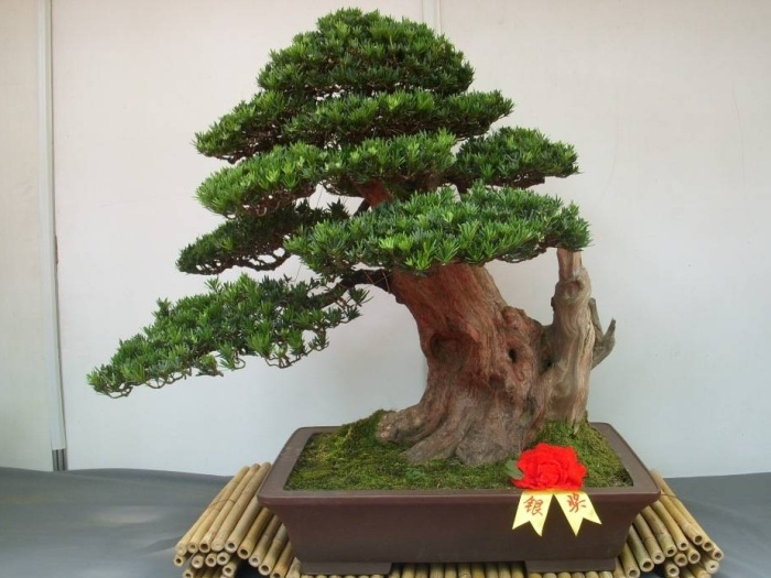 bonsai trees images pictures | Care guide for the Podocarpus Macrophyllus Bonsai tree - Bonsai Empire