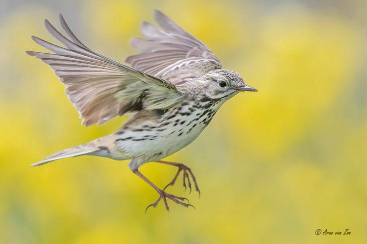 Pipit ballet... by Arno van Zon            a meadow pipit is showing off in front of the camera....;-)You have got to love nature and its creations.Have a great weekend, my friends!            Arno van Zon: Photos                                 #animals #photography