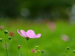 Virág, Cosmos, Pink