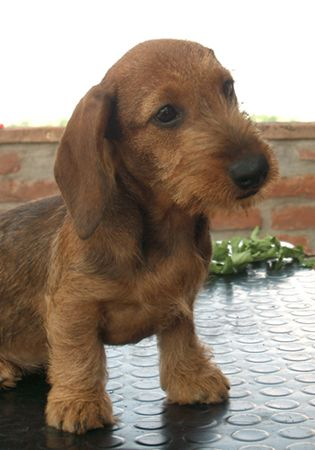 What a cute little guy! Our next Dachshund may have to be a   Wire Haired Dachshund! So cute!