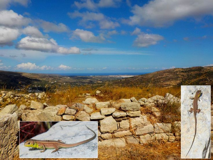 We're lounging with the lizards as this week's #CreteNature blog delves into Crete's past http://bit.ly/2zYzDoG (scheduled via http://www.tailwindapp.com?utm_source=pinterest&utm_medium=twpin)