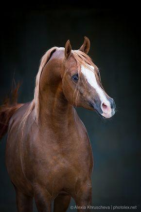 EKIBASTUZ. Russian Arabian Stallion. Photo by Alexia Khruscheva