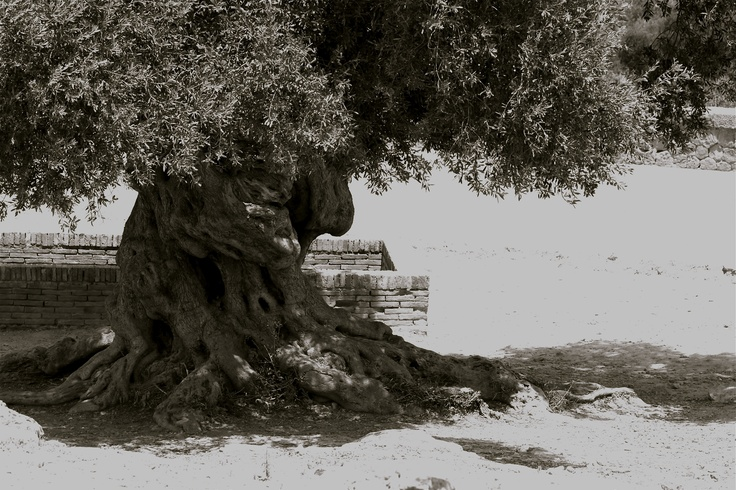 1000 years old......olive tree in Valley of Temples Agrigento