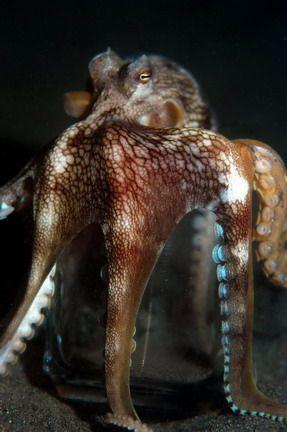 Steve Kuo, Coconut Octopus