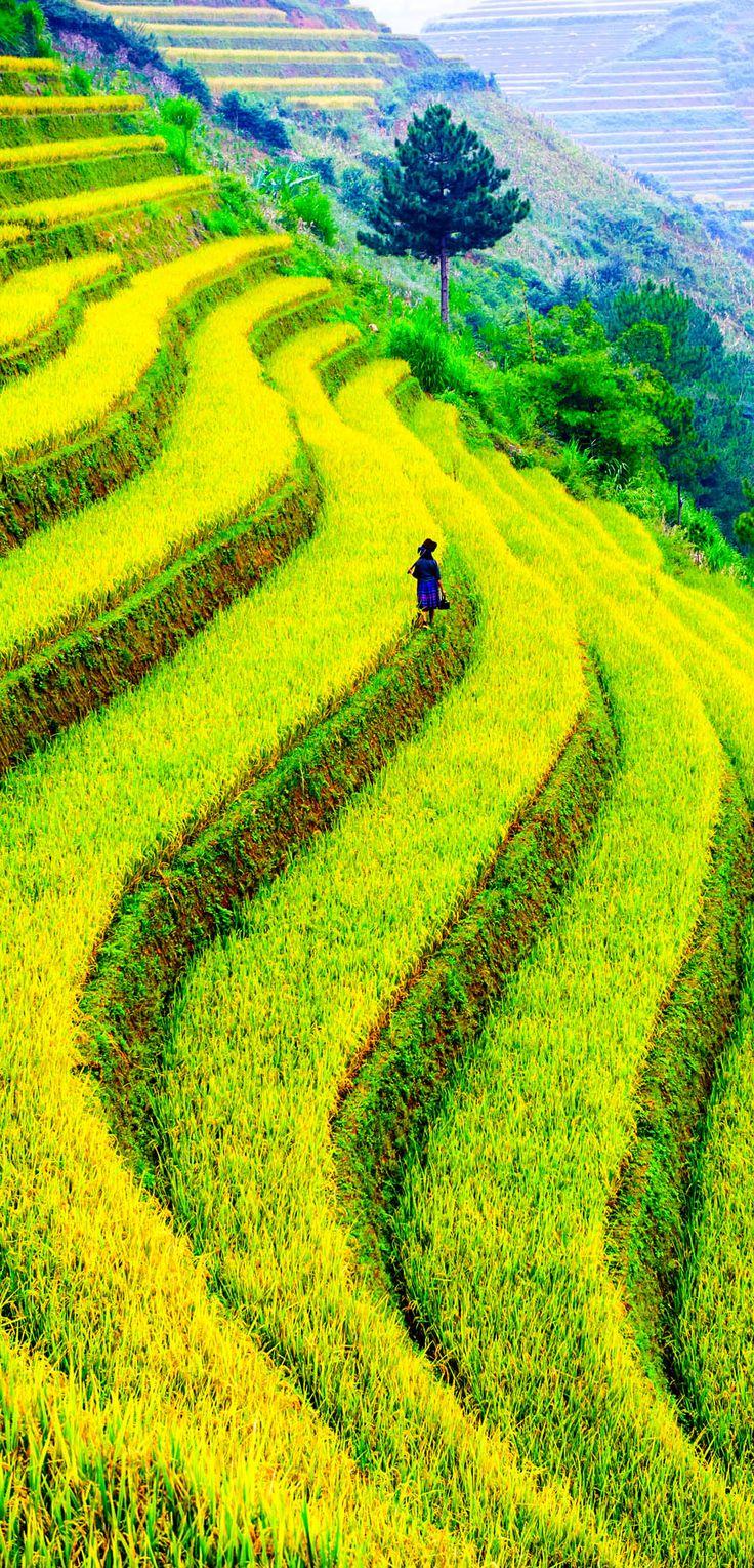 Rice filed of terraces in Mu Cang Chai - YenBai - Vietnam.
