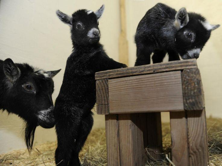 Ces petites chèvres naines africaines, nées le 10 mai dernier