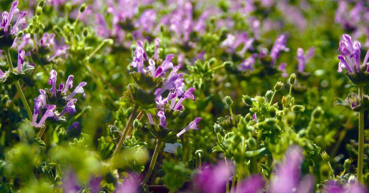 Per la semina del prato fiorito si consigliano delle piante autoctone che possano essere calpestabili. Ecco la guida per fare un giardino fai da te